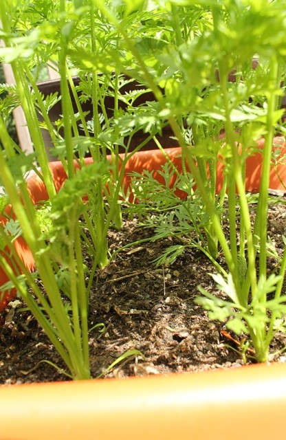 carrot rows